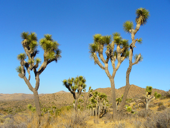 Joshua Trees on the Panorama Loop
